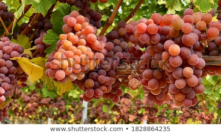 színes · bor · szőlő · növekvő · tavasz · étel - stock fotó © barbaraneveu