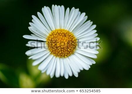 daisy fleabane Stock photo © prill