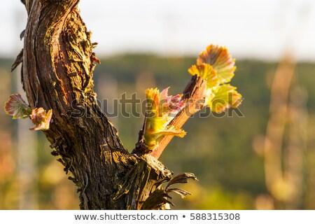 grapes in the vineyard in springtime Stock photo © meinzahn