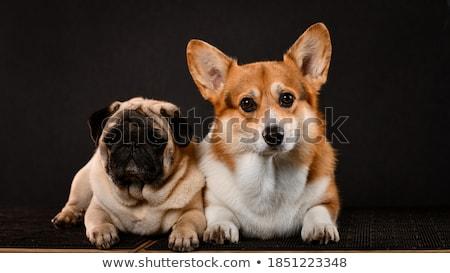 puppy corgie looking in a dark photo studio Stock photo © vauvau