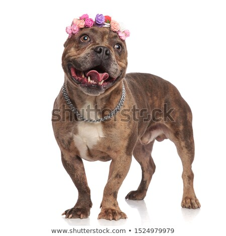 cute american bully wearing colorful flowers headband looks to s Stock photo © feedough