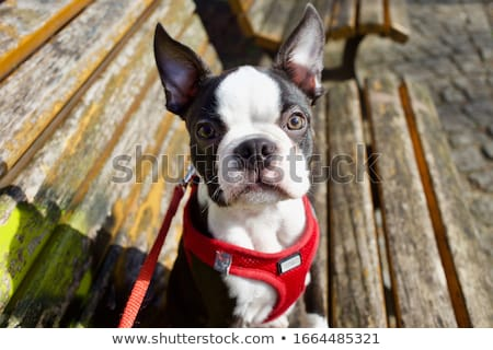 black and white Boston Terrier wearing a red harness Stock photo © Lopolo