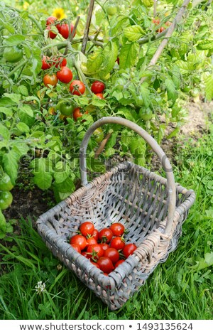Red cherry tomatoes picked from vines, gathered in a basket Stock photo © sarahdoow