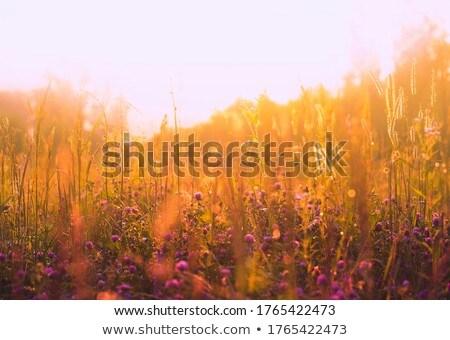 Wild spikelets blurred background in warm autumnal colors Stock photo © galitskaya