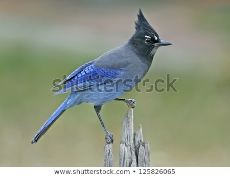 stellers jay stock photo © cboswell
