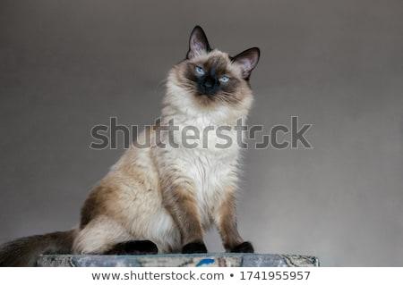 black balinese cat on white stock photo © catchyimages