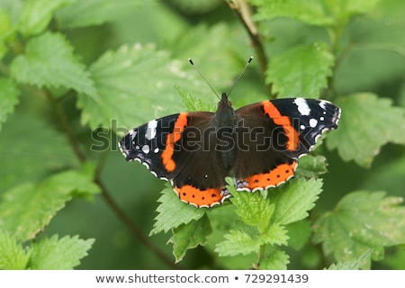 Colorful British Red Admiral butterfly (Vanessa atalanta) on a sedum flower. Stock photo © latent