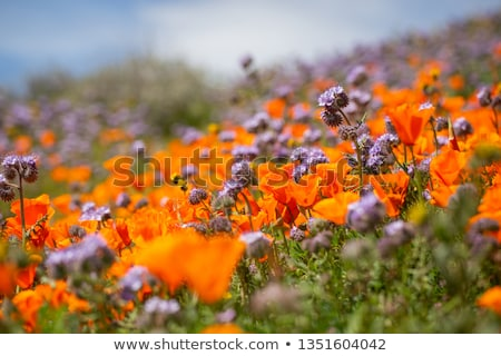 california poppy 21 stock photo © lianem