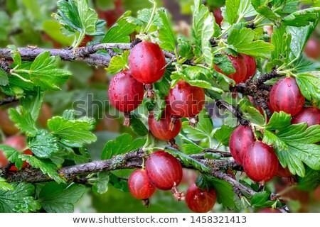 Gooseberry berry Stock photo © Masha