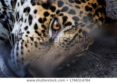 cheetah · gezicht · portret · tonen · bont - stockfoto © jfjacobsz