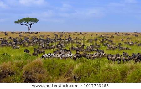 zebra · parque · África · Quênia · abstrato · natureza - foto stock © meinzahn
