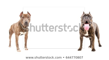 bull mastiff and puppy cane corso sitting and standing in a whit Stock photo © vauvau