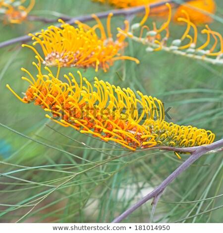 avustralya · kır · çiçeği · görüntü · çiçek · yeşil - stok fotoğraf © sherjaca