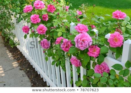 Diminishing picket fence Stock photo © bobkeenan