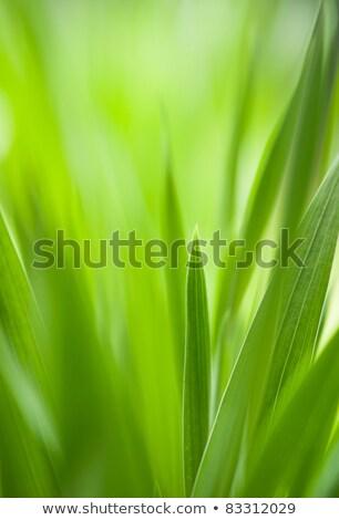Spring Green Grass Useful As Environmental Pattern Stok fotoğraf © Arsgera