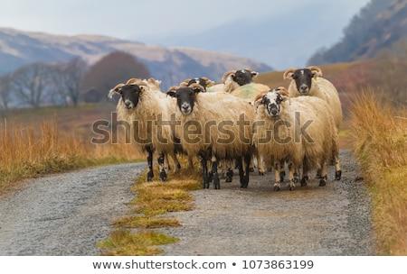 single sheep on hill in scotland Stock photo © gewoldi
