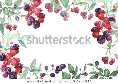 Blackberry berries. Stock photo © snyfer