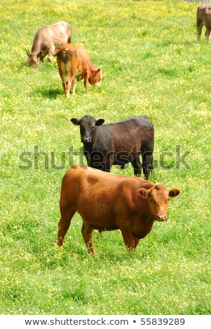 red angus steer in a field stock photo © michaklootwijk