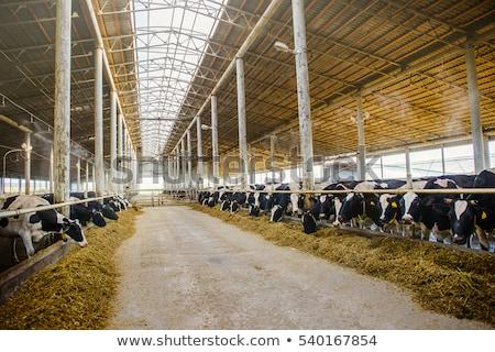 корова · коричневый · ушки · Фермеры · пастбище · животного - Сток-фото © rhamm