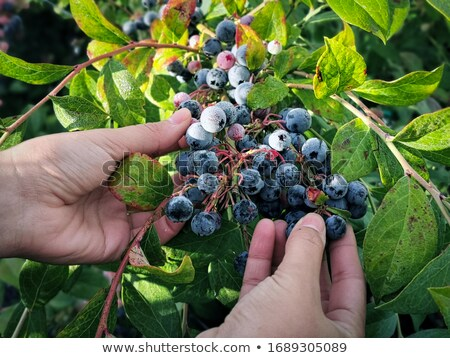 szőlőszüret · áfonya · áfonya · bokor · étel · kéz - stock fotó © arenacreative