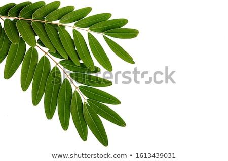 Cassia leaves Stock photo © bdspn