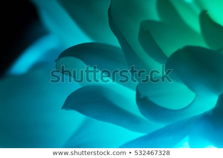 Petals of blue flower macro shot over black background Stock photo © artfotodima
