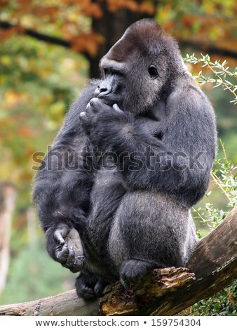 Silverback Mountain gorilla sitting in leaves. Stock photo © simoneeman