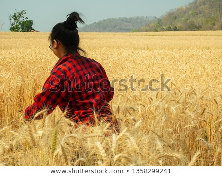 female farmer in plaid shirt touching wheat crop ears stock photo © stevanovicigor