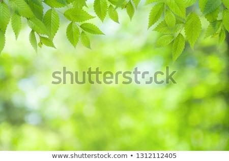 floral · hojas · verdes · borroso · luz · fondo · verde - foto stock © furmanphoto