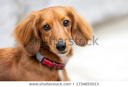 Retrato adorable dachshund aislado gris Foto stock © vauvau