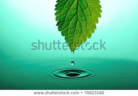 Chute feuille pointe goutte d'eau vert usine Photo stock © Anterovium
