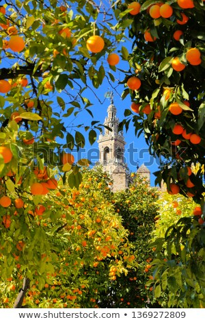 Seville Orange Tree Stock photo © cosma
