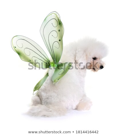 bichon frise and wings Stock photo © cynoclub