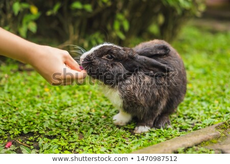 Hands feed the rabbit. Cosmetics test on rabbit animal. Cruelty free and stop animal abuse concept Stock photo © galitskaya