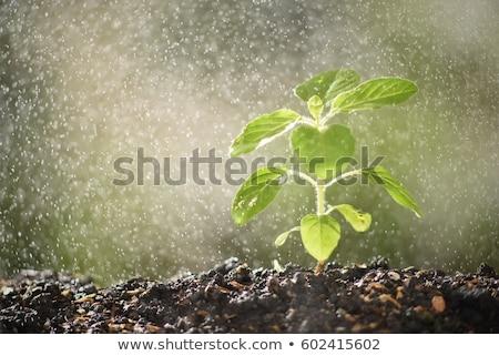 листьев · воды · спрей · солнце · свет · дизайна - Сток-фото © Suriyaphoto
