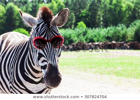 funny zebra stock photo © pavel_bayshev