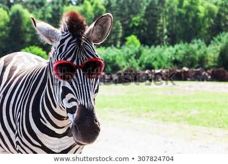 engraçado · zebra · imagem · jardim · zoológico · ver · retrato - foto stock © pavel_bayshev