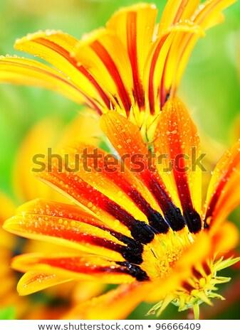 red wet flower head stock photo © anna_om