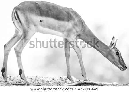 Impala Antelope Ewe Stock photo © fouroaks