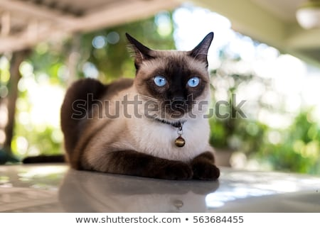 gato · siamés · caminando · blanco · cara · naturaleza · azul - foto stock © feedough