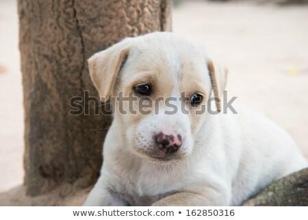 magányos · kutyakölyök · kutya · fekszik · fehér · arc - stock fotó © feedough