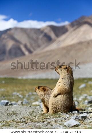 Two marmots stock photo © Antonio-S