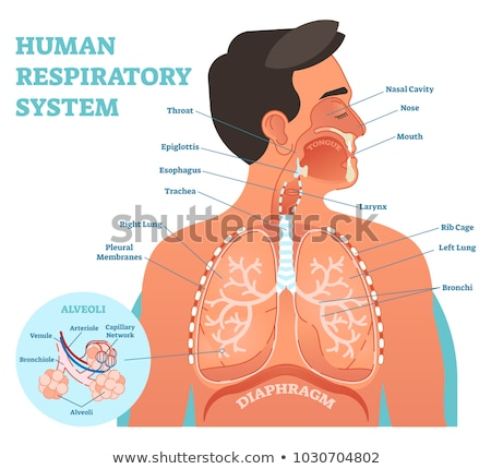 Human respiratory system, cross section. Stock photo © Pixelchaos