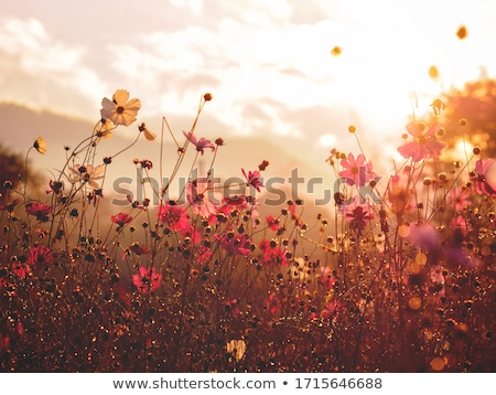 summer meadow at sunset stock photo © nailiaschwarz