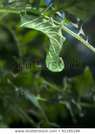 Tobacco Hornworm (Manduca Sexta) hanging upside down from a tomato plant. Stock photo © gabes1976