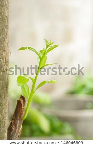 Sprout of citrus tree Stock photo © boroda