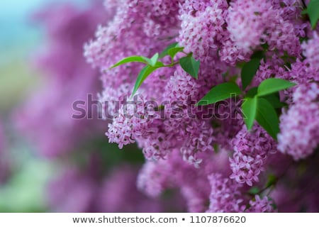 twigs purple lilacs Stock photo © taden