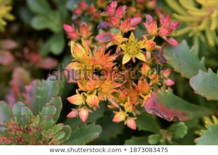 bright yellow Succulent Flower cluster Stock photo © stocker