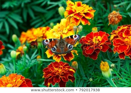 colorido · borboleta · foto · detalhes · parque · flor - foto stock © jonnysek