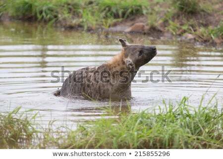 Spotted hyena lying in a mud pool stock photo © ottoduplessis